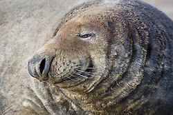 July 21, 2019 - Close Up Of Seal (Credit Image: © John Short/Design Pics via ZUMA Wire)