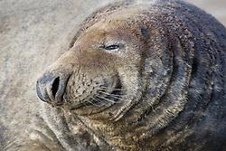 July 21, 2019 - Close Up Of Seal (Credit Image: © John Short/Design Pics via ZUMA Wire)