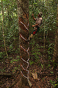 Balata Bleeder - Anton Clarence <br /> MODEL RELEASE GYA#5<br /> From the Balata or Bullet Wood Tree that produces a natural latex<br /> Katoka<br /> Rupununi<br /> GUYANA<br /> South America