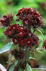 Dianthus barbatus 'Nigricans'  - sweet william