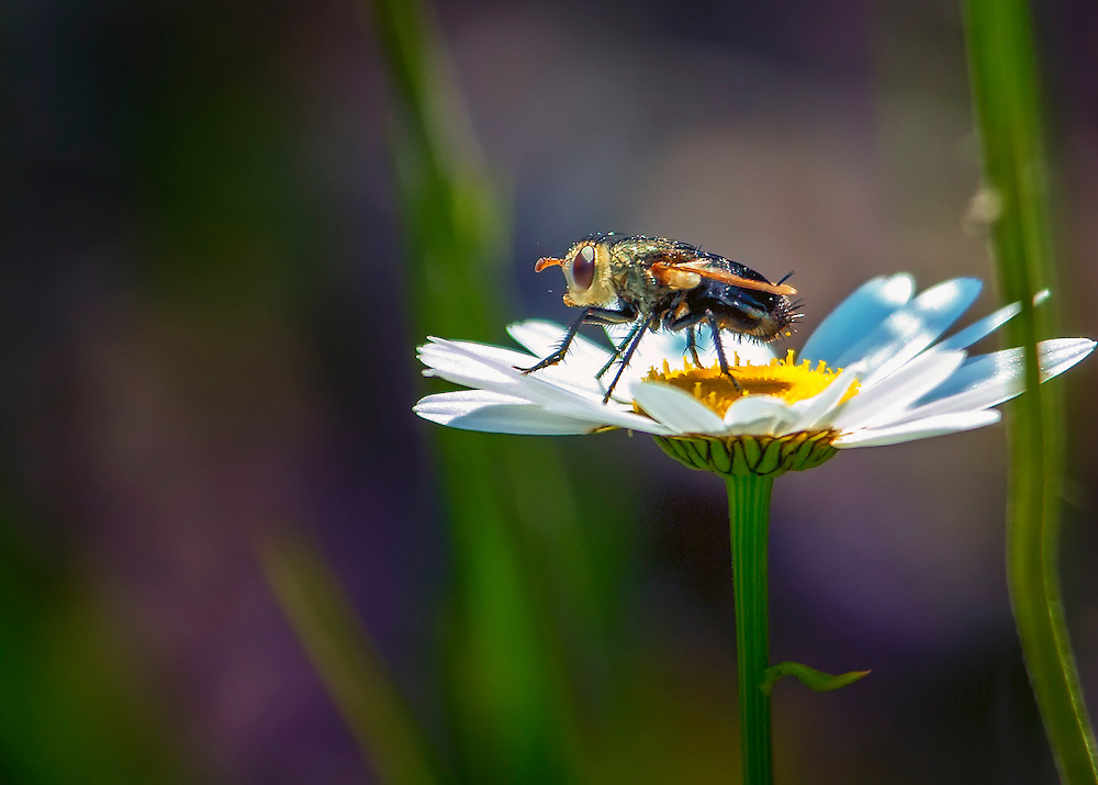 A macro shot of a fly perched on a daisy petal in the garden