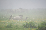 """A group of Konik horses (Equus ferus caballus) in grey foggy morning while the one in front fights mosquitoes, nature park """"Dvietes paliene"""", Latvia Ⓒ Davis Ulands 