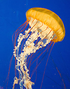"""Pacific sea nettle, or Ortiga de mar (Chrysaora fuscescens), Oregon Coast Aquarium, Newport, Oregon, USA. Although commonly named """"jellyfish,"""" jellies are plankton, not fish. Jellies (class Scyphozoa) lack the backbone (vertebral column) found in fish. Jellies have roamed the seas for at least 500 million years, making them the oldest multi-organ animal. A sea nettle hunts by trailing long tentacles covered with stinging cells to paralyze tiny plankton and other prey. Stung prey is moved to the frilly mouth-arms and on to the jelly's mouth."""