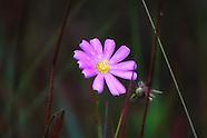Gentianaceae (Gentians)