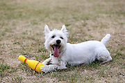 This is MacDuff, a year-old Westie, with a yellow skittle