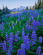 Lupine and the Tatoosh Range from Slopes of Mount Rainier, Mount Rainier National Park, Washington