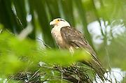 Yellow Headed Caracara, Milvoga chimachima, Panama, Central America, Gamboa Reserve, Parque Nacional Soberania, perched high in palm tree