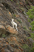 Dall sheep ewe on cliff looking at camera