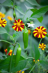 Companion planting of Tagetes patula 'Tall Scotch Prize' (French marigold) with Chilli 'Hungarian Hot Wax'