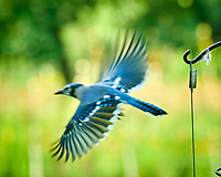 Blue Jay. Image taken with a Nikon D850 camera and 200 mm f/2 lens