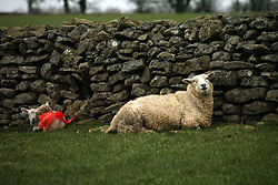© Licensed to London News Pictures. 02/03/2014. Ston Easton, UK Newly born lambs use the cover of a dry stone wall on the Mendip Hills to keep out of the cold wind. Photo credit : Jason Bryant/LNP