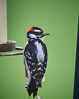 Downy Woodpecker. Image taken with a Nikon D5 camera and 600 mm f/4 VR lens (ISO 1600, 600 mm, f/5.6, 1/400 sec).