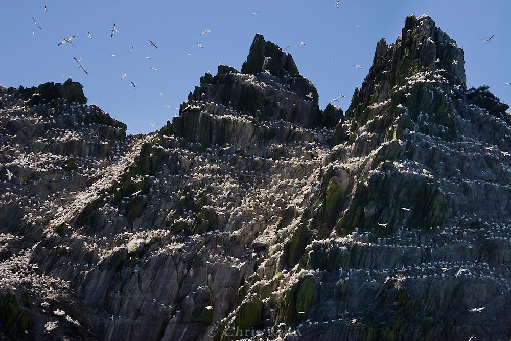 Gannet birds on Little Skellig, County Kerry, Ireland