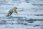 It is amazing to see the giant Polar bear jumping from ice floe to ice floe | Det er fantastisk å see den svære isbjørnen hoppe fra isflak til isflak.