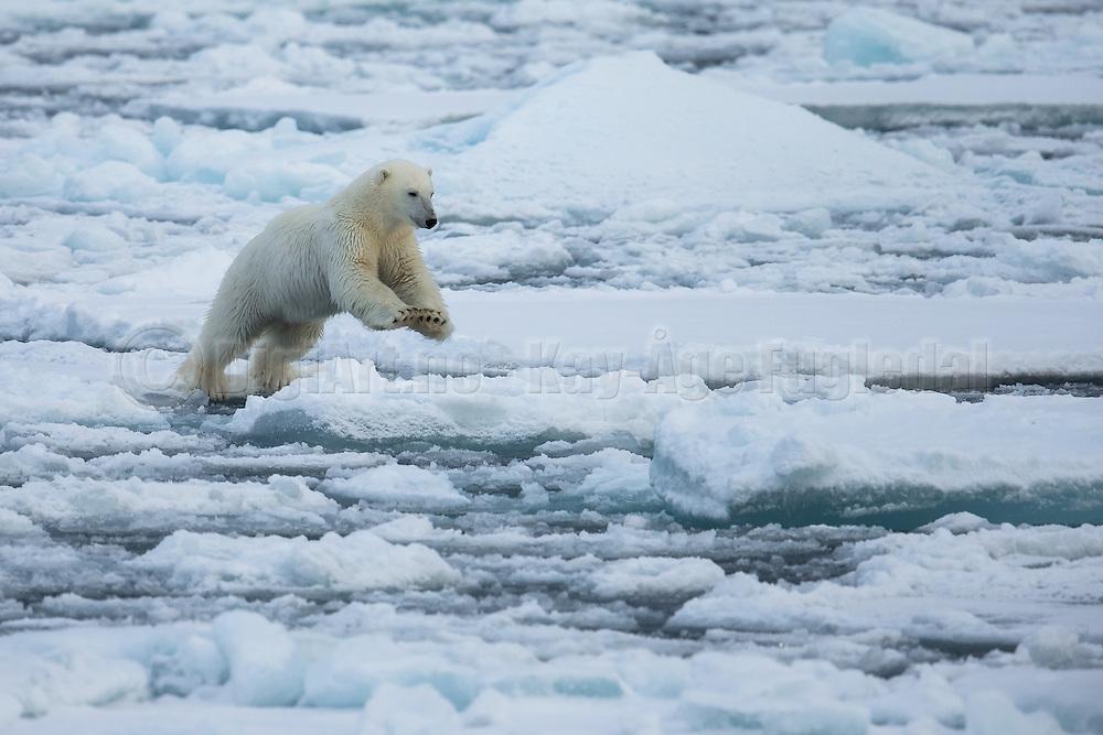 It is amazing to see the giant Polar bear jumping from ice floe to ice floe | Det er fantastisk å see den svære isbjørnen hoppe fra isflak til isflak.