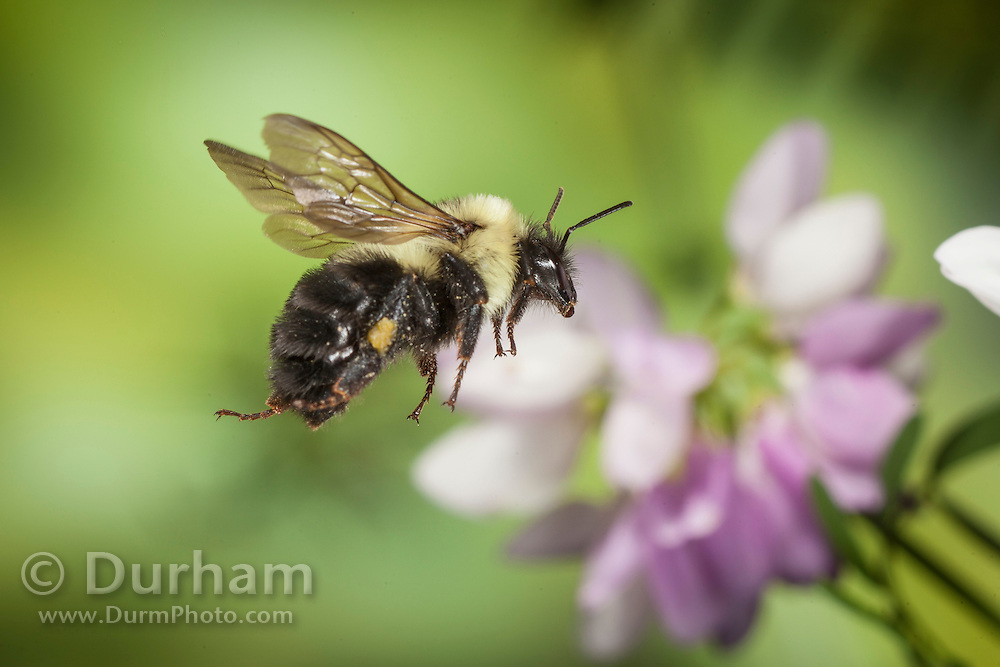 (Bombus impatiens) Common Eastern Bumble Bee with wild pea flowers in the Cherokee National Forest, Tennesee.