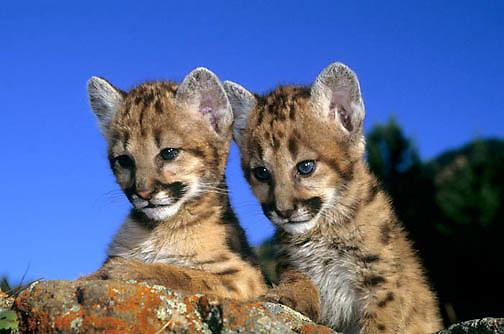 Mountain Lion or Cougar, (Felis concolor) Portrait of cubs on rocks. Montana.  Captive Animal.