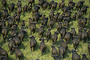 Buffalo (Syncerus caffer)<br /> Marromeu<br /> Eastern Mozambique, Africa<br /> Wild buffalo to be darted from helicopter for blood and Probang (throat scrape) samples to test for foot-and-mouth disease to prepare localized vaccines for regionally different foot-and-mouth strains.