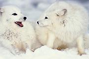 Arctic Fox, Alopex lagopus, Minnesota, in snowy landscape, white, coat, fur winter