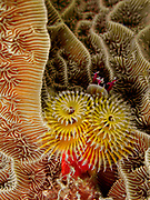 """A Christmas Tree Worm (Spirobranchus giganteus) extends its two """"crowns"""" 49 feet below the surface of the Gulf of Mexico off the coast of Riviera Maya. Christmas tree worms are widely distributed throughout the world's tropical oceans, residing from the Caribbean to the Indo-Pacific.  The two Christmas tree-shaped multicolored spiral """"crowns"""" per worm that protrude from the tube-like body are mouth appendages highly specialized for both feeding and respiration. These animals possess a complete digestive system, a well-developed closed circulatory system, and a nervous system with a central brain and many supporting ganglia.  The worms have two eyes that can detect light which are tucked under the crowns.  These adaptations allow Christmas tree worms to rapidly retract their crowns into their burrows at any sign of danger.  Interestingly, the nerves from these eyes do not go to the usual section of the brain associated with vision, and the light-sensitive proteins in the eyes called opsins are not the typical eye variety.  Christmas tree worms come in a wide variety of bright colors and are generally about 1.5 inches (3.8 cm) in length."""