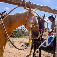 Sullivan Jake saddles up his horses before a ride at his home in Pinehill August 31.