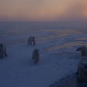 Polar bears on the frozen ice of Hudson Bay during the evening.