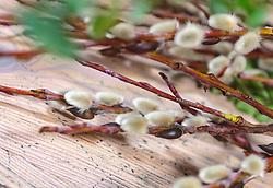 THEMENBILD - Palm- und Buchsbaumzweige auf einem Holzboden. Palmkätzen werden traditionell zu Ostern zu einem Palmbuschen gebunden und am Palmsonntag gesegnet, aufgenommen am 02. März 2018, Kaprun, Österreich // Palm and boxwood branches on a wooden floor. Palm chalks are traditionally tied to a palm tree at Easter and blessed on Palm Sunday on 2018/03/02, Kaprun, Austria. EXPA Pictures © 2018, PhotoCredit: EXPA/ Stefanie Oberhauser