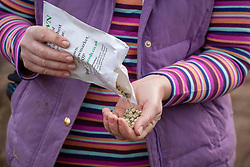 Handful of pea seeds ready to plant out
