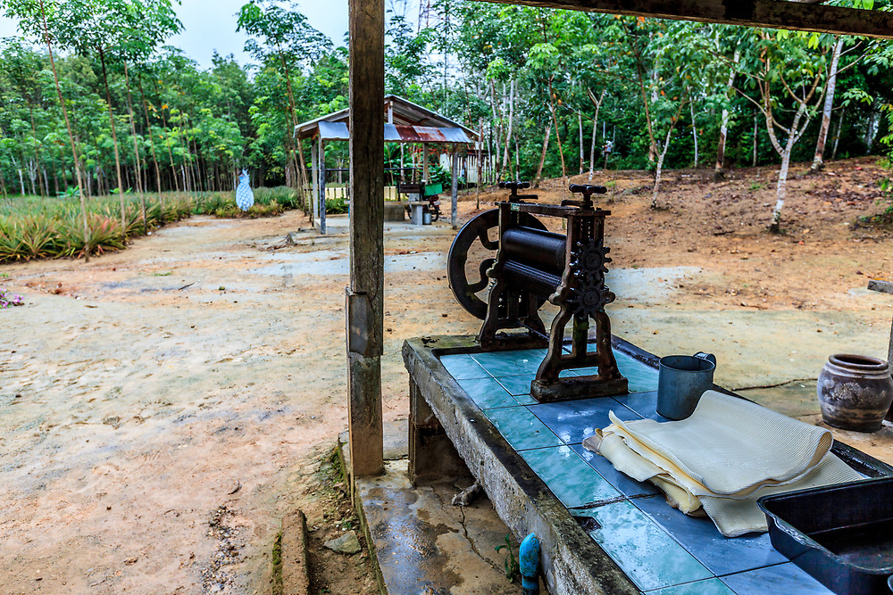 A rubber plantation in Thailand. The rubber making consists of three phases: tapping, collection, and mixing with water and acid which thickens the mixture so that it can then be rolled through two presses into its final sheet form.