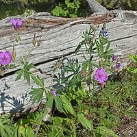 Wildflowers grow by a log near Big Sky, Montana.