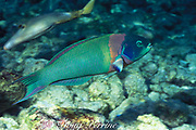 saddle wrasse, Thalassoma duperrey, <br /> adult male, terminal phase ( supermale )<br /> Kona, Hawaii, USA ( Pacific ) endemic to Hawaii