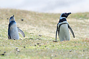 A Magellanic penguin and chick on Saunders Island on Sunday 4th February 2018.