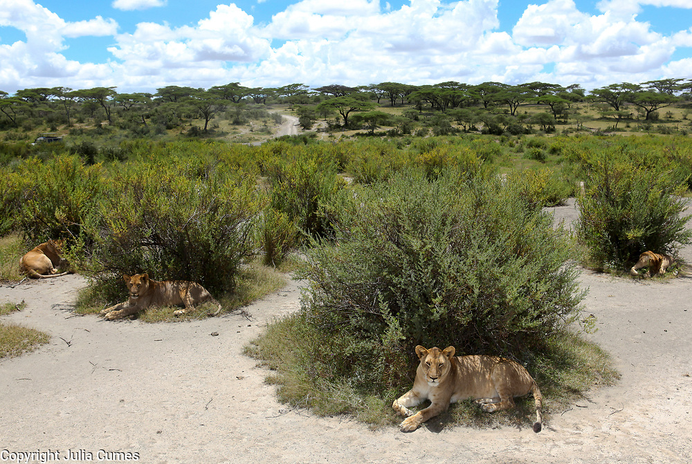 A pride of lions is photographed in the Serengeti National Park in Tanzania.