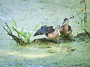 After feeding on the abundant duckweed filling Finis Pool at Bombay Hook NWR, this pair of Wood Ducks took a moment to rest and preen each other.
