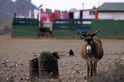 Mexico, San Benito Island. Wild burro near fishermen's house.