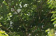 Snowy Cotinga, Carpodectes nitidus