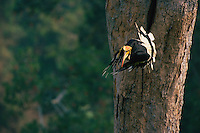 Great Hornbill (Buceros bicornis) taking off from his nest tree..Khao Yai National Park, Thailand