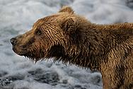 A brown bear on the Brooks River, Katmai National Park
