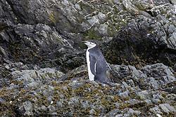 Chinstrap Penguin, Point Wild, Elephant Island