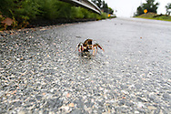 September 15th, 2013:  A crawdad that has been misplaced by the flooding in Colorado attempts to cross Indian Street just south of 80th.