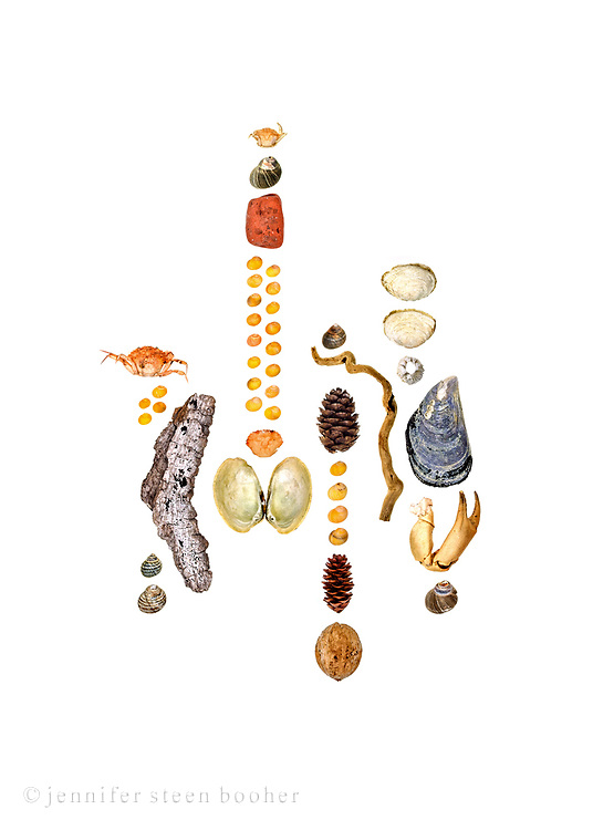 A perfect summer's day in Maine: deep blue sky with fluffy white clouds, hot sun, cool shade, and a light breeze blowing from the sea.  Soft-shell Clam (Mya arenaria), Rough Periwinkle (Littorina saxatilis), driftwood, brick, Smooth Periwinkle (Littorina obtusata), Blue Mussel (Mytilus edulis), Green Crab (Carcinus maenas), walnut (Juglans sp.), Common Periwinkle (Littorina littorea), spruce cones (Picea sp.), and Northern Rock Barnacle (Balanus balanoides).