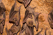 Egyptian fruit bat or Egyptian rousette (Rousettus aegyptiacus) is a species of Old World fruit bat. Photographed in Israel in June