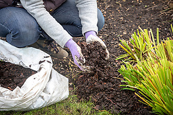 Mulching a border with compost in late autumn after cutting back perennials.