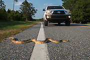 Florida Pine Snake (Pituophis melanouecus mugitus) on road<br /> The Orianne Indigo Snake Preserve<br /> Telfair County. Georgia<br /> USA<br /> HABITAT & RANGE: Pine-oak woodlands, longleaf pine forests and sandhills of Florida, Alabama, Georgia and South Carolina.<br /> IUCN STATUS: Special Concern