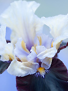 Iris 'Finalist' - tall bearded iris
