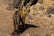 A portrait of a large Bengal tiger cub looking over his shoulder (Panthera tigris tigris), Ranthambhore National Park, Rajasthan, India,