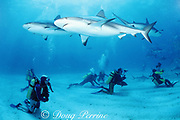divers with Caribbean reef sharks, Carcharhinus perezi, and blacktip sharks, Carcharhinus limbatus, at Shark Rodeo, Walker's Cay, Abaco Islands, Bahamas ( Western Atlantic Ocean )