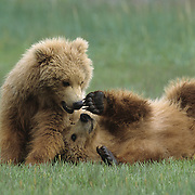 Alaskan Brown Bear (Ursus middendorffi) cubs playing. Alaskan Peninsula