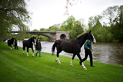 © London News Pictures. 08/05/2012. Windsor, UK.  Horses being exercised on the riverbank of The Thames River at Windsor  on day one of the Royal Windsor Horse Show, set in the grounds of Windsor Castle. Established in 1943, this year will see the Show celebrate its 70th anniversary. Photo credit: Ben Cawthra/LNP