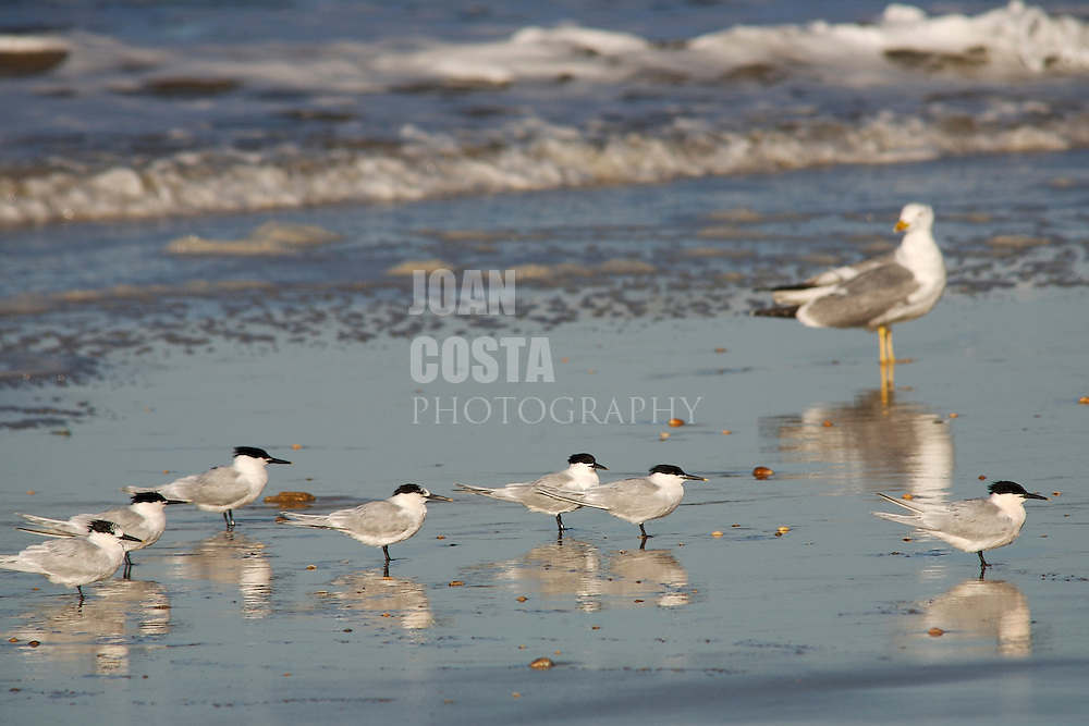 ESPAÑA / ANDALUCIA / HUELVA .Aves en la Playa de Matalascañas en el Parque Nacional de Doñana..©JOAN COSTA..